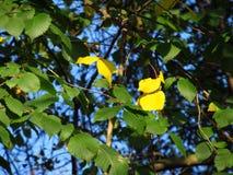 Gele bladeren onder de groene  Stock Afbeeldingen