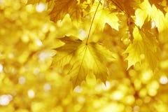 Gele bladeren, ondiepe nadruk Stock Afbeelding