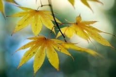 Gele bladeren op blauw Stock Afbeeldingen