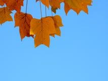 Gele bladeren op blauwe hemelachtergrond Stock Foto