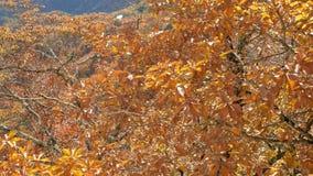 Gele bladeren op boom die in de wind, de herfstseizoen blazen stock video