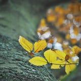 Gele bladeren op een beukboom bij de herfst royalty-vrije stock afbeeldingen