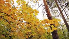 Gele bladeren op een boom in de herfstpark algemeen plan stock video