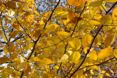 Gele bladeren op een boomtak tijdens een dalingszonsondergang royalty-vrije stock fotografie