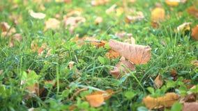 Gele bladeren op een groen gras bij het de herfstpark stock videobeelden