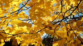 Gele bladeren op een tak in de herfst, de langzame motie van de camerabeweging stock footage