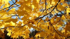 Gele bladeren op een tak een marpleboom in de herfst, de langzame motie van de camerabeweging stock footage