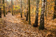 Gele bladeren op weg in bos Royalty-vrije Stock Foto's