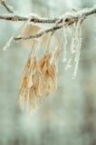 Gele bladeren in rijp Royalty-vrije Stock Foto