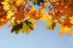 Gele bladeren tegen blauwe hemel Royalty-vrije Stock Foto