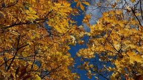 Gele bladeren tegen de blauwe hemel stock video