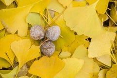 Gele bladeren van biloba Gingko met vruchten Royalty-vrije Stock Fotografie