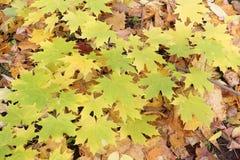 Gele bladeren van de Canadese esdoorn tegen van het gevallen gebladerte Royalty-vrije Stock Afbeeldingen