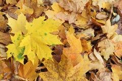 Gele bladeren van de Canadese esdoorn tegen van het gevallen gebladerte Royalty-vrije Stock Fotografie