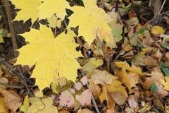 Gele bladeren van de Canadese esdoorn tegen van het gevallen gebladerte Stock Afbeelding