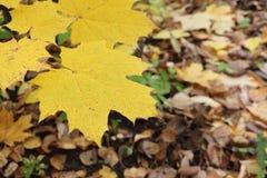 Gele bladeren van de Canadese esdoorn tegen van het gevallen gebladerte Royalty-vrije Stock Afbeelding