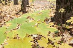 Gele bladeren van de Canadese esdoorn tegen van het gevallen gebladerte Royalty-vrije Stock Foto's