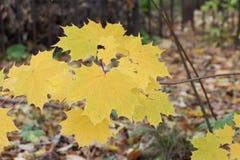 Gele bladeren van de Canadese esdoorn tegen van het gevallen gebladerte Stock Fotografie