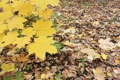 Gele bladeren van de Canadese esdoorn tegen van het gevallen gebladerte Stock Foto