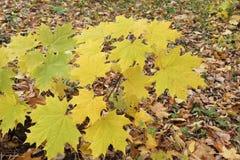 Gele bladeren van de Canadese esdoorn tegen van het gevallen gebladerte Royalty-vrije Stock Foto