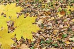 Gele bladeren van de Canadese esdoorn tegen van het gevallen gebladerte Stock Afbeeldingen