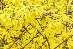 Gele bladeren van de struik Royalty-vrije Stock Foto's