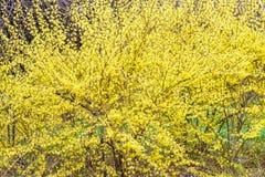 Gele bladeren van de struik Stock Afbeelding