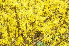 Gele bladeren van de struik Stock Fotografie