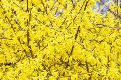 Gele bladeren van de struik Royalty-vrije Stock Fotografie