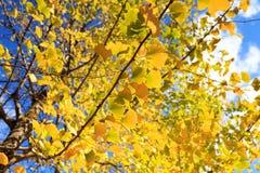 Gele bladeren van ginkgo bij kumamoto, Japan royalty-vrije stock afbeelding