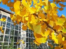 Gele bladeren van Ginkgo-biloba op een tak tegen de achtergrond van de serre in de botanische tuin royalty-vrije stock foto's