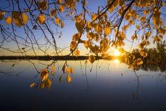 Gele bladerenberken bij zonsondergang Royalty-vrije Stock Afbeeldingen