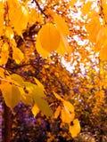 Gele bladerendaling van de bomen Royalty-vrije Stock Foto's