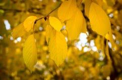Gele bladerendaling van de bomen Stock Fotografie