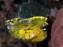 Gele bladscorpionfish, Taenianotus-triacanthus stock afbeelding
