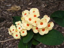 Gele bloei in Koko Crater Botanical Garden, Oahu, Hawaï Stock Foto's