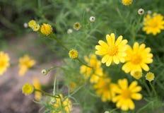 Gele bloeiende bloem royalty-vrije stock fotografie
