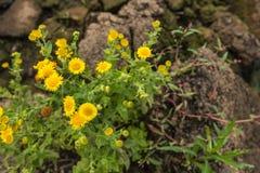 Gele bloeiende gemeenschappelijke fleabane Stock Afbeelding