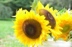 Gele Bloeiende Zonnebloemen in een Witte Emmer Royalty-vrije Stock Foto's