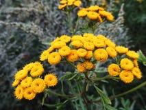 Gele bloeiwijzen van eeuwigdurende kruidachtige tansy installatie Stock Foto's