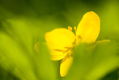 Gele bloem Stock Afbeeldingen