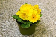 Gele bloem Stock Fotografie