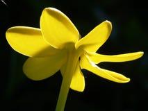 Gele bloem againts het zonlicht. Royalty-vrije Stock Afbeeldingen