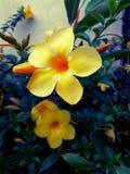 Gele bloem BG Stock Afbeelding