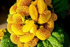 Gele bloem in bloei Stock Fotografie