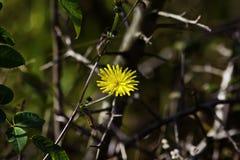 Gele bloem in de struiken stock foto's