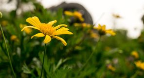 Gele bloem in de weide royalty-vrije stock foto's