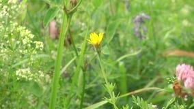 Gele bloem dichte omhooggaand Gele weidebloem die in de wind slingeren stock videobeelden
