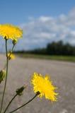 Gele bloem, die naast de weg groeit Royalty-vrije Stock Afbeelding