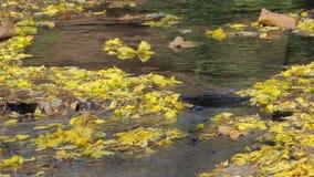 Gele bloem die op kreek vallen stock video